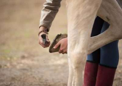 Detail of a horse having a hoof cleaned