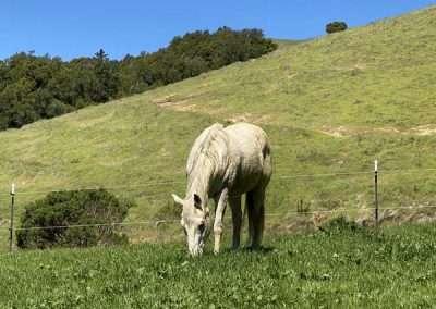 White horse grazes in a green field