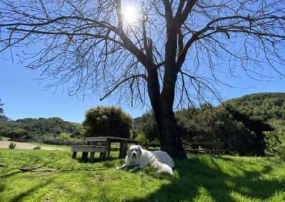 Sunlight through trees and detail of white dog lying in the grass