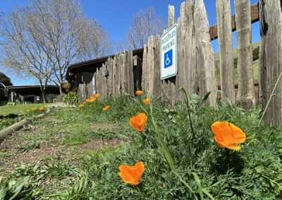 California wild poppies growing in parking lot