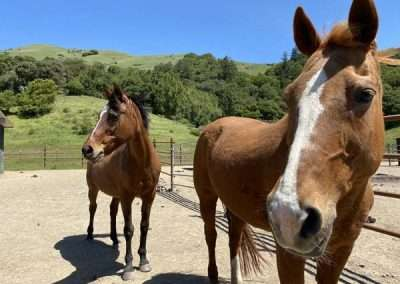 Two curious brown horses in corral face the same way watching something