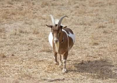 Cute brown and white goat trotting in pasture